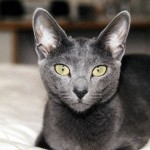 Russian Blue katt