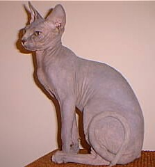 Sphynx katt
