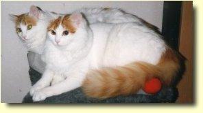 Turkisk Van katt