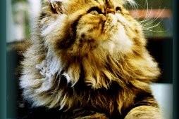 perser katt