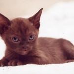 brun Burma, 6 veckor gammal