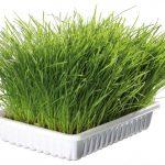 Mjukt kattgräs, vitaminberikat, odlingskit